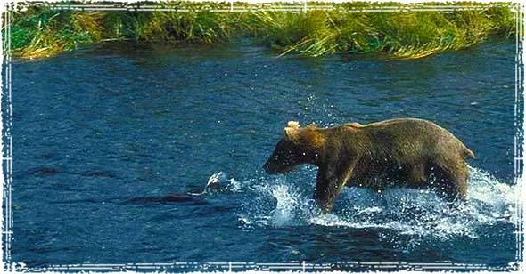 Bear Walking in the Water near a Hiking Trail