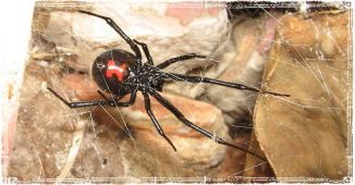 Black Widow Spider on Web