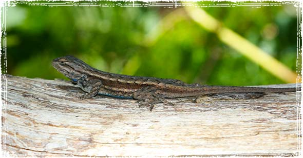 Lizzard on a Log