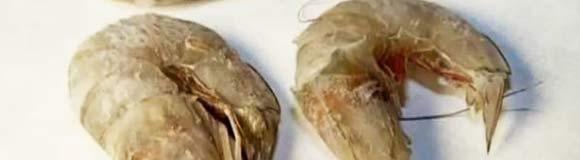eyeless shrimp from Gulf of Mexico