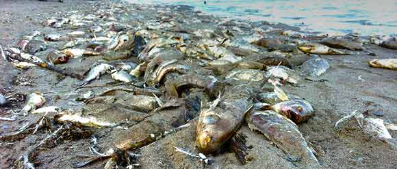 Mysterious die offs tens of thousands of dead fish for Lake erie fish species