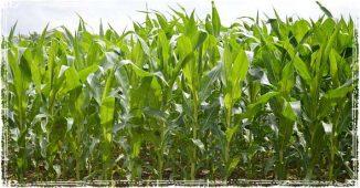 Monsanto Corn Crops