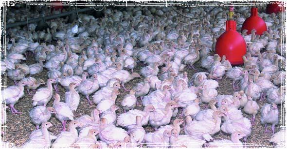 A Turkey Farm