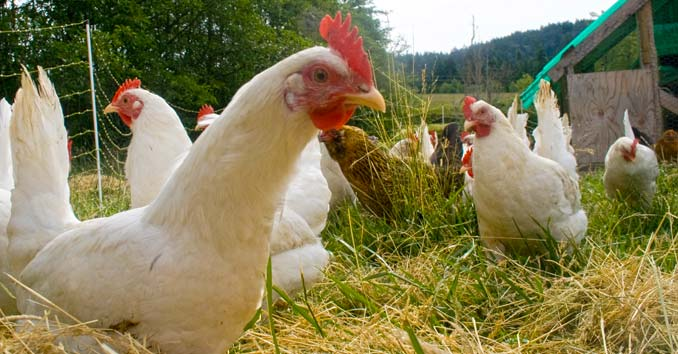 WHO/CDC Issues Bird Flu Warnings: High Alert Over Proliferation of Bird Flu Outbreaks