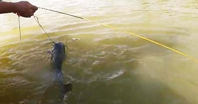 Catching Catfish with Trotlines