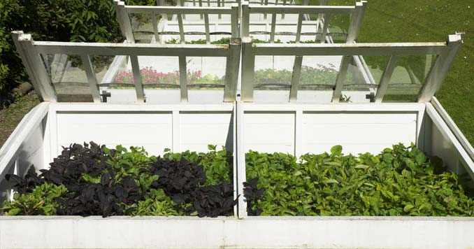 vegetables grown in a cold frame garden