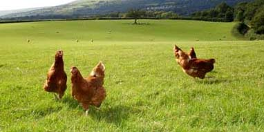 Free Range Chickens Roaming in a field